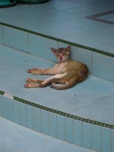 malaysian island cat