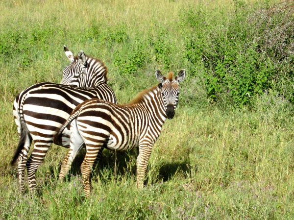 A Pair of Zebra